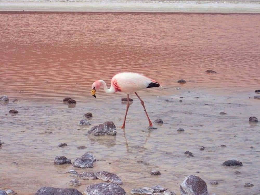 flamingo looking for food