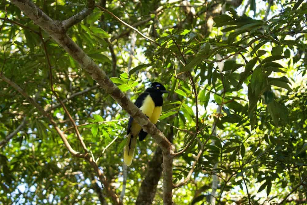 Iguazu Falls Plush-Crested Jay