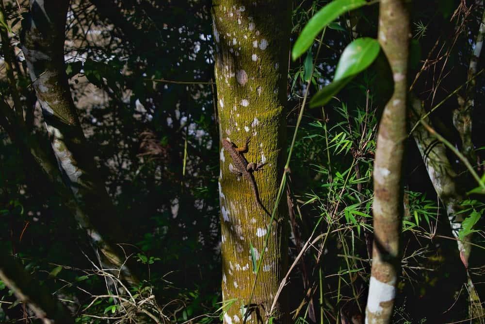 Lizard at Iguazu Falls