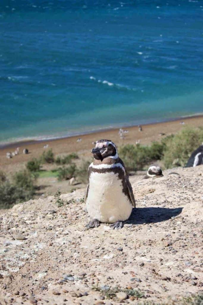 Magellanic Penguin Patagonia Argentina