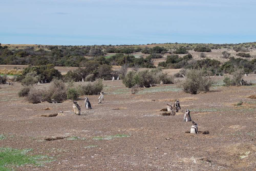 Magellanic penguin nests
