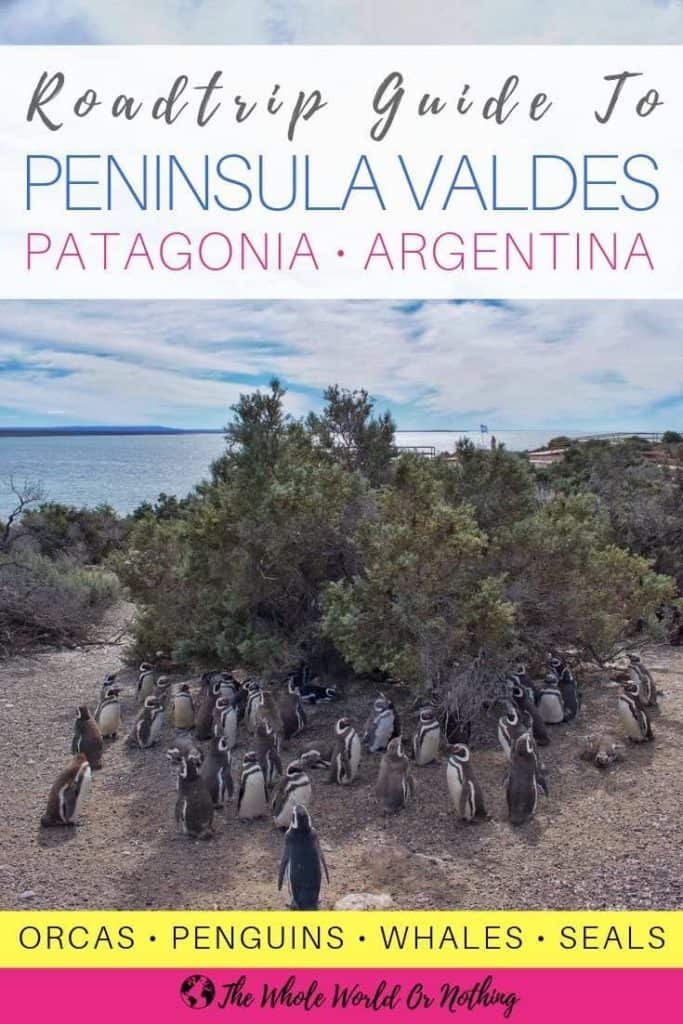 Penguin colony with text overlay Roadtrip Guide To Peninsula Valdes Patagonia Argentina