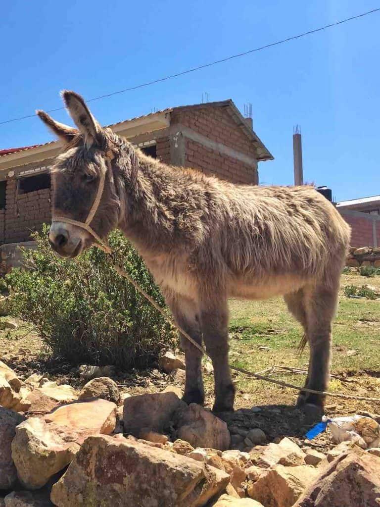 Donkey on Isla del sol Copacabana