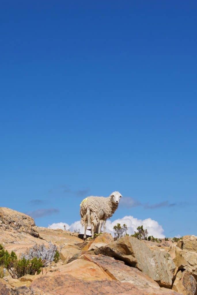 Sheep on hill Isla de Sol Bolivia