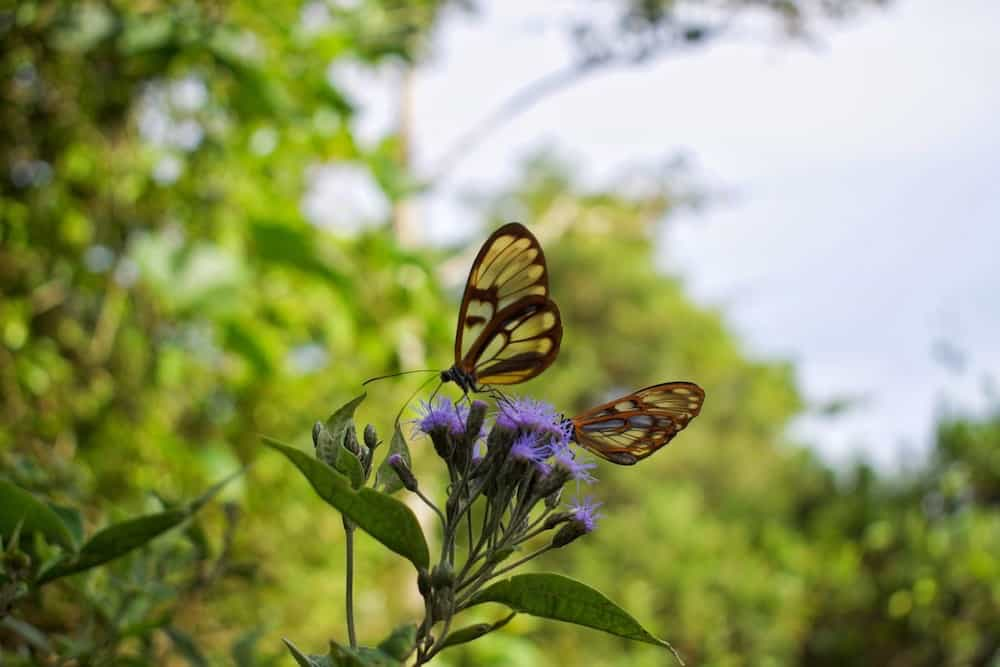 Transparent butterflies in Amboro National Park