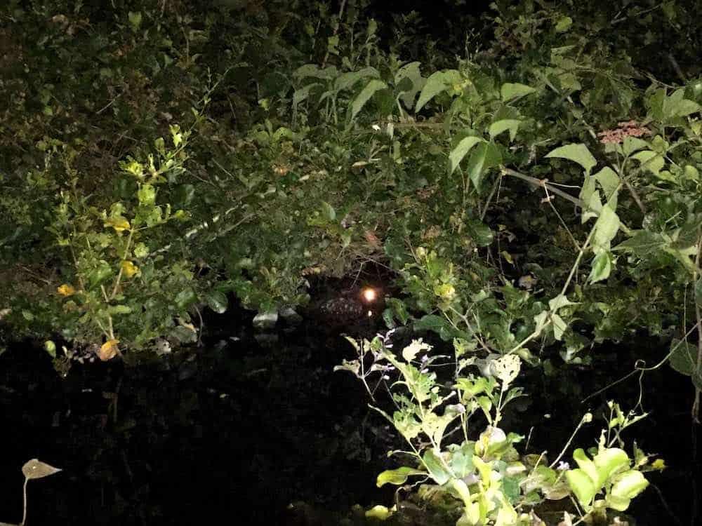 Caiman at night on Yacuma River