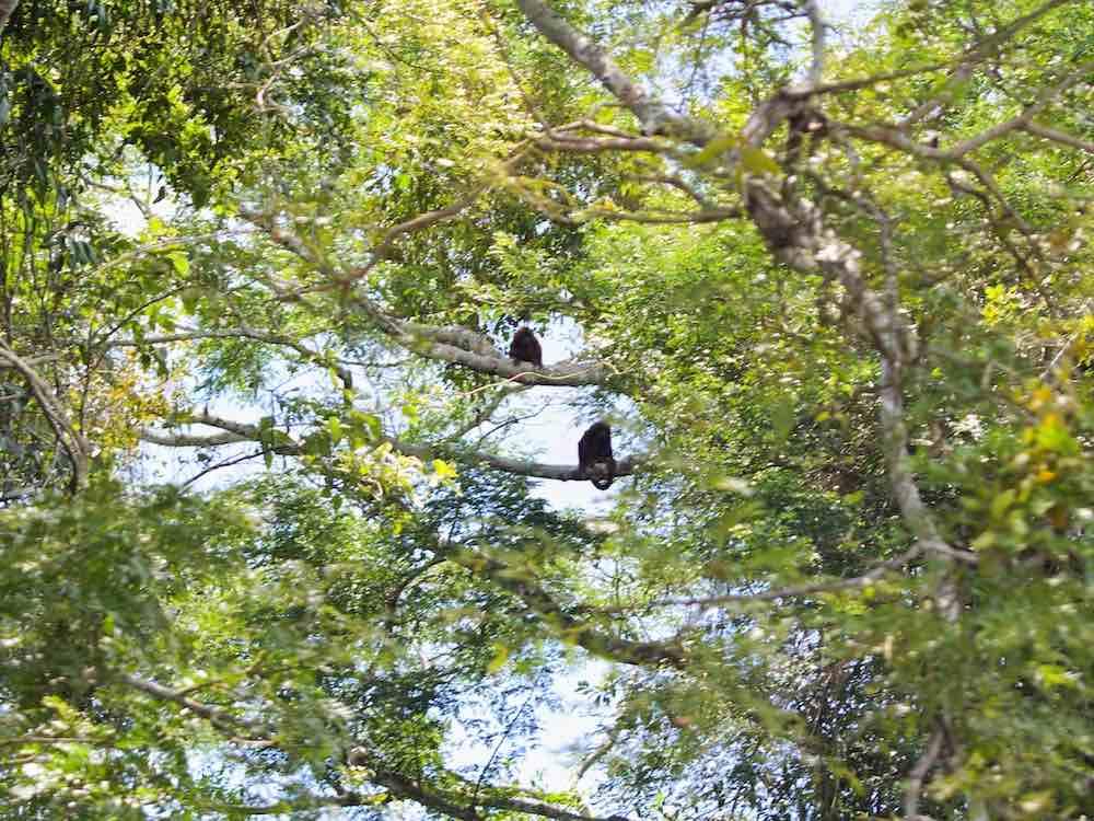 Monkeys Rurrenabaque Bolivia