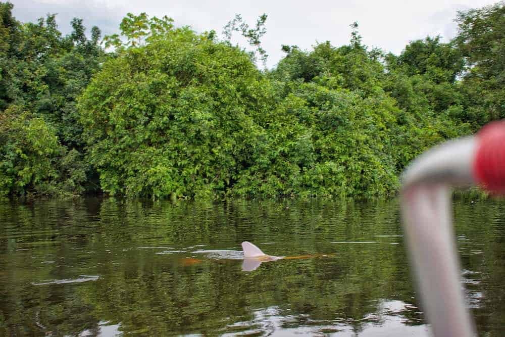 Pink dolphins in Rurrenabaque Bolivia