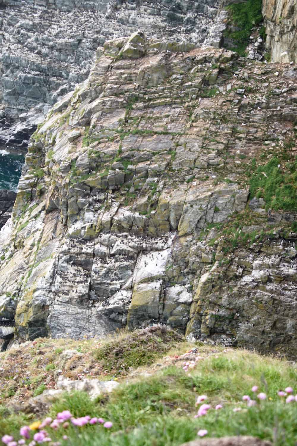 South Stack Puffins